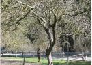 drevo-pred-obrezovanjem