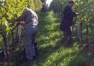 v-vinogradu